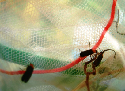 阿公偷偷捕的螢火蟲