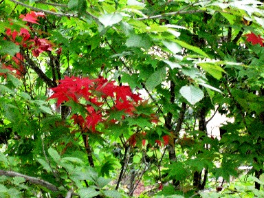 有些楓葉已經轉紅了