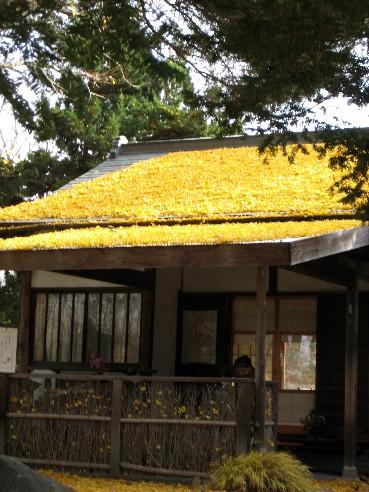 園區的茶室靜靜杵在金黃色銀杏林中,夢幻到不行
