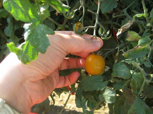 """這種黃蕃茄叫""""金童"""""""