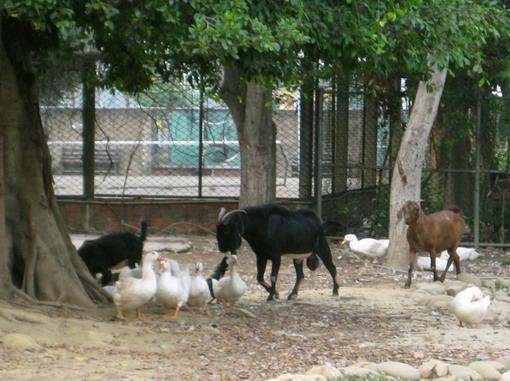天哪!!城市的小朋友還要花錢去農場餵羊看豬咧~