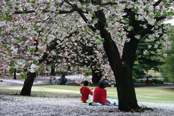 日本-新宿御院-櫻花樹下04.jpg