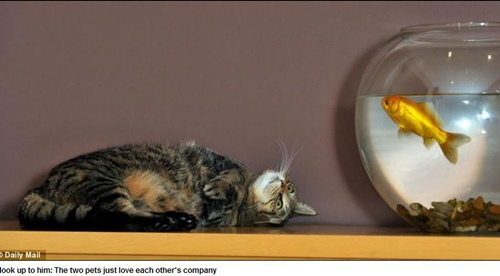 虎斑貓跟金魚喇舌