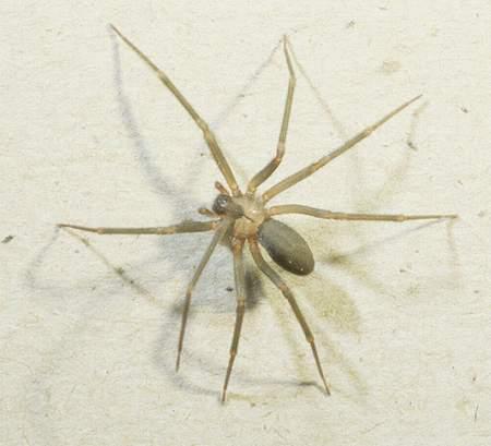 巨形白蜘蛛