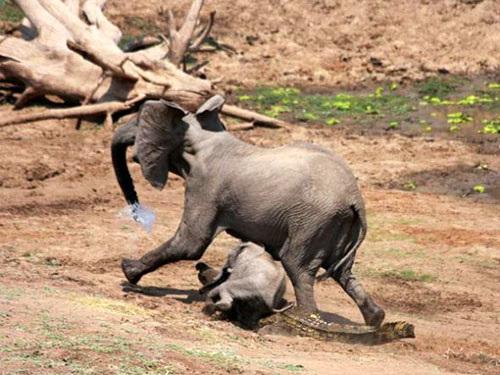 讚比亞 鱷魚突襲大象12781465_21n.jpg