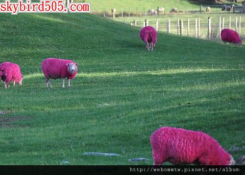 紐西蘭牧場 粉紅色綿羊3