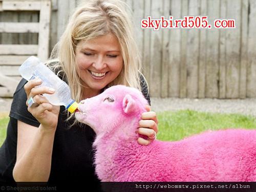 紐西蘭牧場 粉紅色綿羊