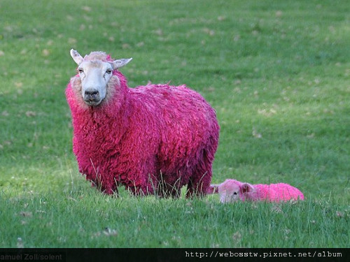 紐西蘭牧場 粉紅色綿羊2
