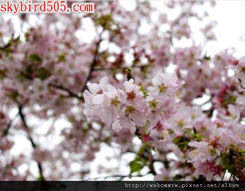 新北櫻花季2