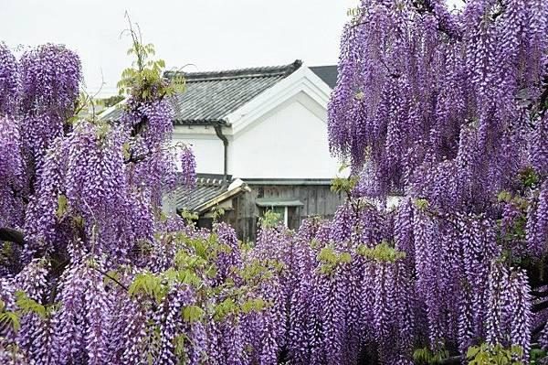 大阪紫藤.jpg