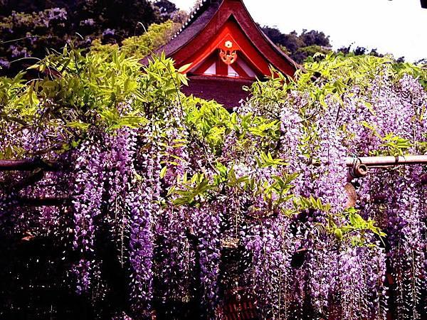 奈良紫藤.jpg