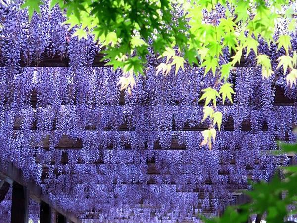 京都紫藤.jpg