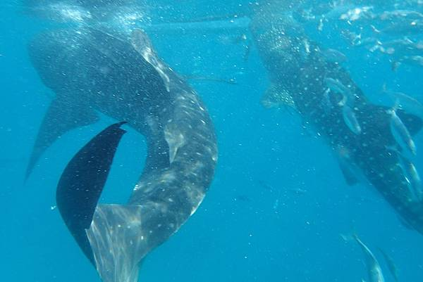 Oslob 鯨鯊