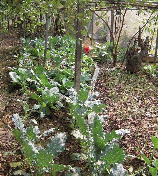 棗樹下的菜園