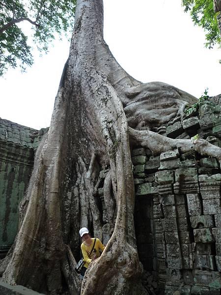 樹根比人還粗