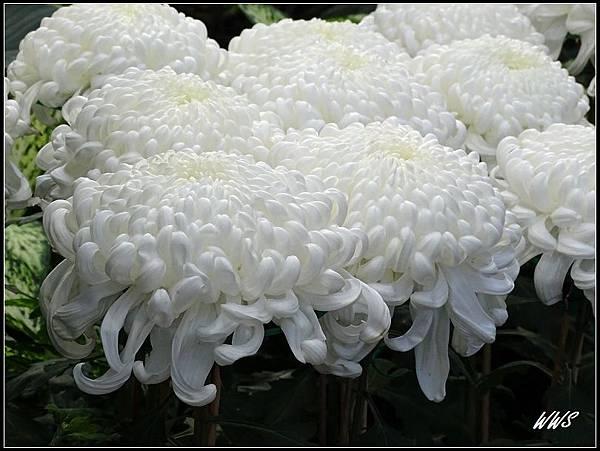 83金山菊
