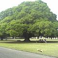 國泰的大榕樹