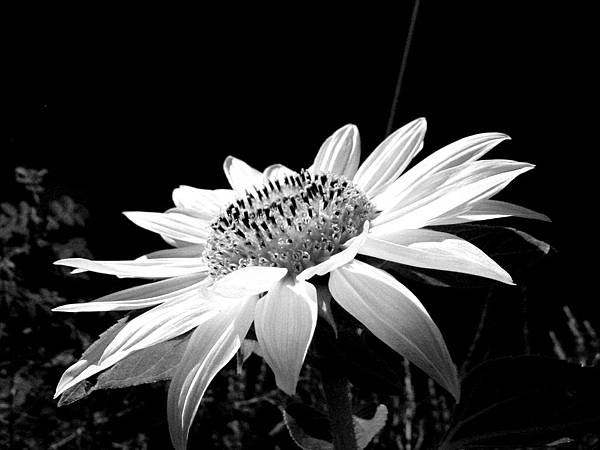 black-and-white-sunflower
