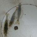 第二天  硬是了得...抓到三隻蝦子