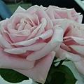 2011 Xmas 跑跑送給全公司玫瑰花,ART 把它們好好的插在花瓶中,盛開惹