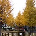 宿舍旁邊的公園...到了秋天葉子全部轉黃了