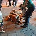 信義新光廣場的把咩咩黃金獵犬團