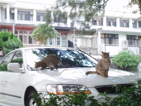 淡水路上悠閒的貓咪>///<