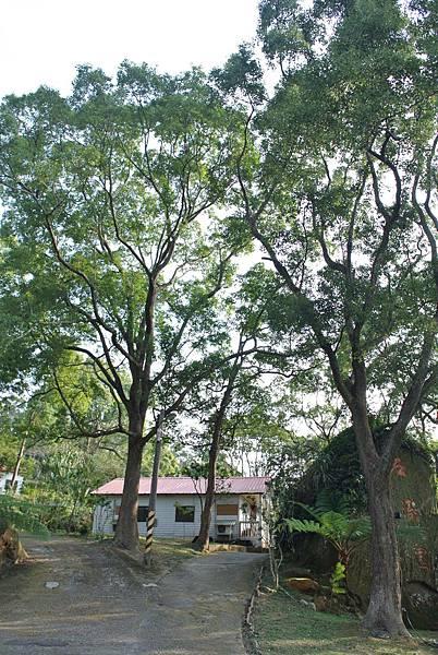 百年樟樹2