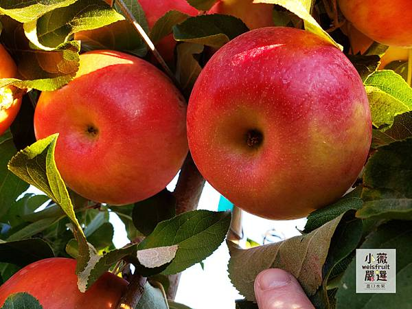 紐西蘭富士蘋果