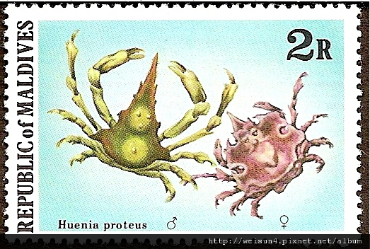 17-01_C1069-02_臥蛛蟹科_紋章藻片蟹