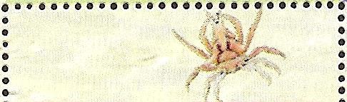 17-04_zC1184_臥蛛蟹科_斯氏尖胸齒蟹