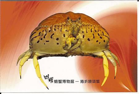 C0485_明信片_澎湖螃蟹博物館_捲折饅頭蟹