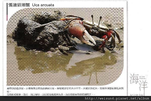 C1936_明信片_弧邊招潮蟹_荒野保護協會