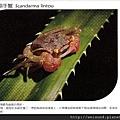 C1936_明信片_林投攀相手蟹_荒野保護協會