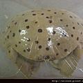 C0295_標本_饅頭蟹
