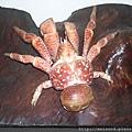 C0449_標本_關島椰子蟹