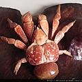 C0449_標本_關島椰子蟹-2