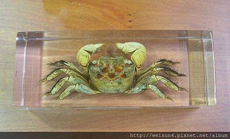 C0791_文具_紙鎮_螃蟹標本