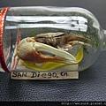 C1980_瓶中蟹_標本