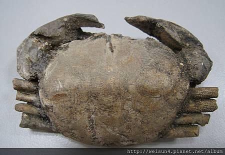 C1033_化石螃蟹_印尼