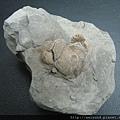 C1512_顆粒靜蟹化石_台中石岡_2