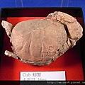 C1757_螃蟹化石