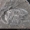 C1870_螃蟹化石_大溪_2
