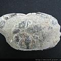 C1878_化石_台灣螃蟹