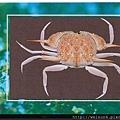 060_C1690_黎明蟹科_琴口筐形蟹