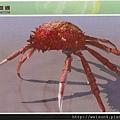 190_C1691_蜘蛛蟹科_合團蜘蛛蟹