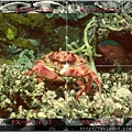 090_C1662_珊瑚瓢蟹
