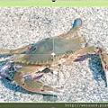 250_C1781_梭子蟹科_紅星梭子蟹