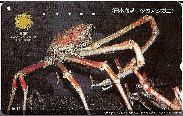 180_C1592_尖頭蟹科_甘氏巨螯蟹