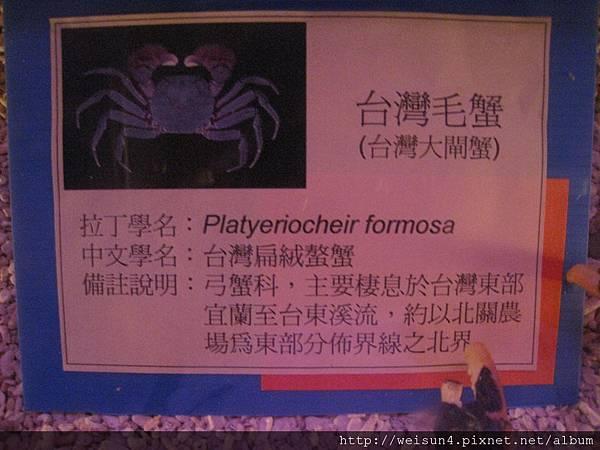 IMG_4586_台灣扁絨螯蟹